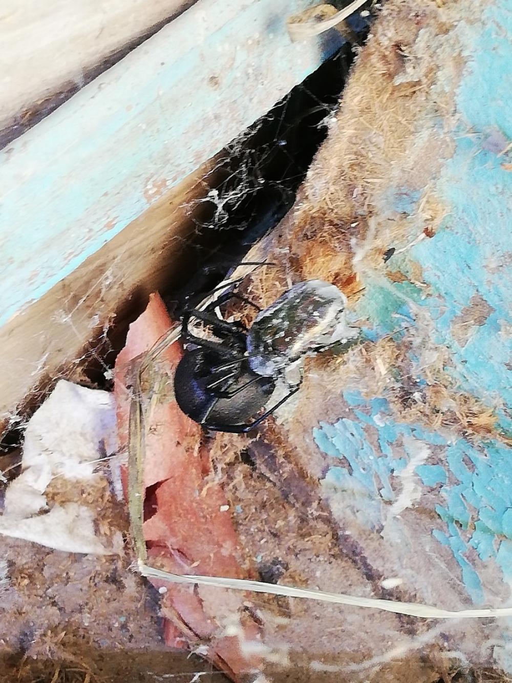 В Астрахани обнаружили страшного ядовитого паука