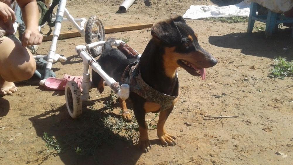 Инвалидная коляска для собаки — это правда. Астраханец придумал незатейливую конструкцию
