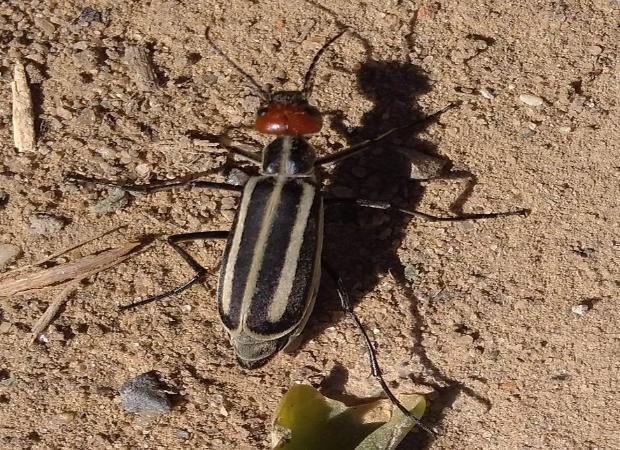 Астраханскую область атаковали необычные жуки-вредители
