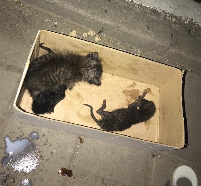 В Астрахани новорожденных котят заживо похоронили в мусорнике